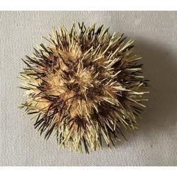 Oursin Toreumatic 7/9cm lot de 3