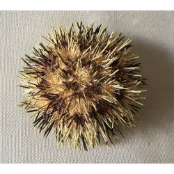 Toreumatic sea urchin 7/9cm lot of 3