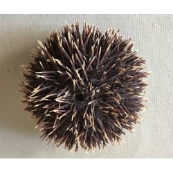 Sea urchin Sphaerechinus Mediterranean 8/10cm lot of 2