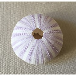 0811 SEA URCHIN TEST PURPLE 3/4cm per 12