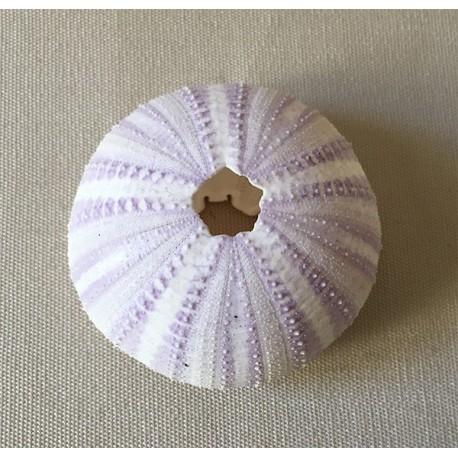 Violet sea urchin test 3/4cm batch of 12