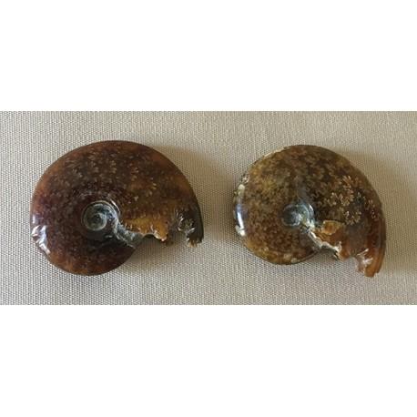 Fossile Ammonite Cleoniceras 7/8cm lot de 2
