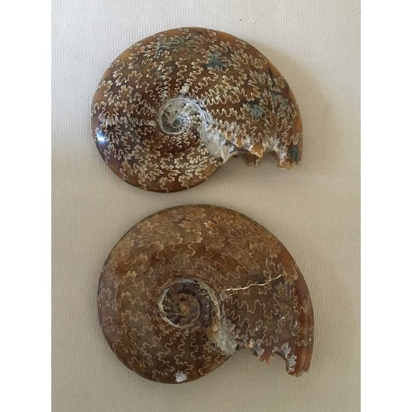Ammonite with teeth and ferns 12cm by 1