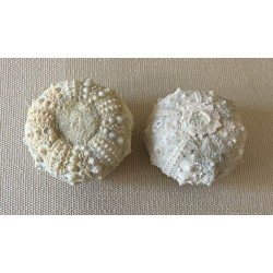 Fossil sea urchin test Mini lot of 1