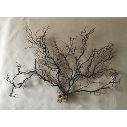 Black Gorgon tree 25/30cm (10''-15') by 3