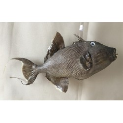 Fish Baliste 43/50cm lot of 1