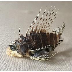 Lion fish 8/10cm lot of 3