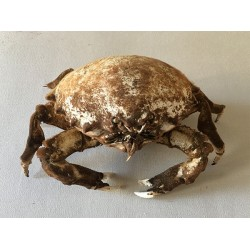 Crab Dromia 20/29cm lot of 1