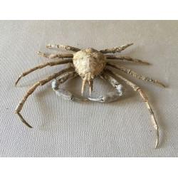 Crabe Asperi 12/14cm lot de 2