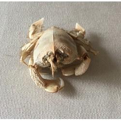 Crab Notopus 6/9cm lot of 2