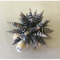 Turtle Batillaria 8/9cm lot of 12
