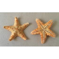 Sea Star Asteropdeidae 5.5/8cm by 25
