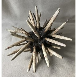 Sea urchin Pencil Giant 19/24cm lot of 2