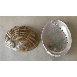 Abalone laevigata 12/14cm par 3
