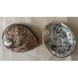 Abalone rufescens colorée marron 13/15cm par 1