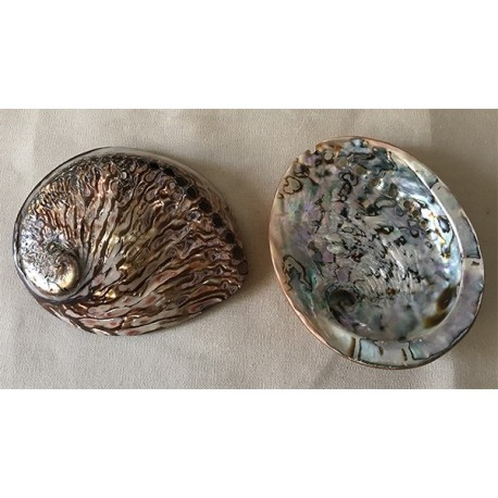 Abalone brown colored rufescens 13/15cm by 1
