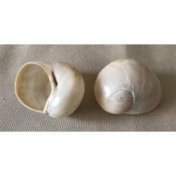 Terrestre - Helicostyla blanc poli 3/5cm par 12