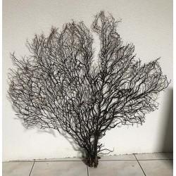 Gorgone noire arbre de mer 60/70cm ( 28''-32'') par 1