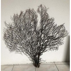 Black gorgon sea tree 90/105cm (36''-40') by 1