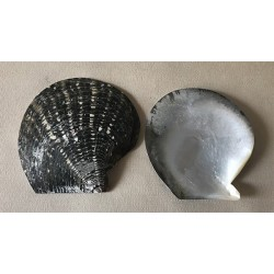 Black mother-of-pearl oyster crust 10/12cm by 6