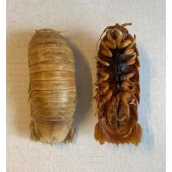 Isopode cirolanidae 10-15cm par 1