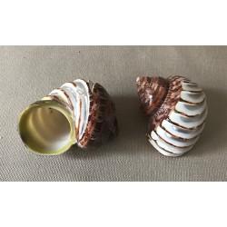 Turbo petholathus bande nacre sculptée assortis 7.5/8.5cm par 25
