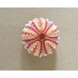 Test d'oursin granulatus coloré 2-3cm par 3