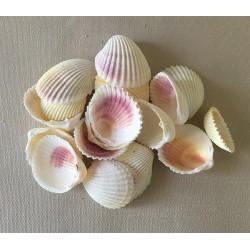 White shell 3/4cm 2kg lot