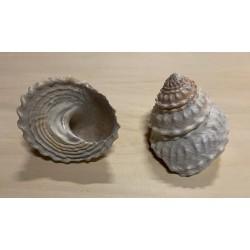 Astrea undosa naturel 10/12cm par 2
