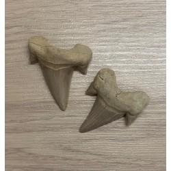 Fossile Dent de Requin Lamna Obliqua 4/5.5cm lot de 3