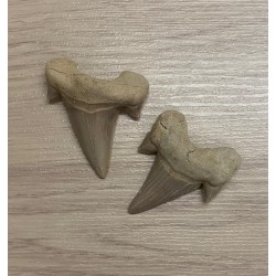 Fossil Shark Tooth Lamna Obliqua 4/5.5cm lot of 3