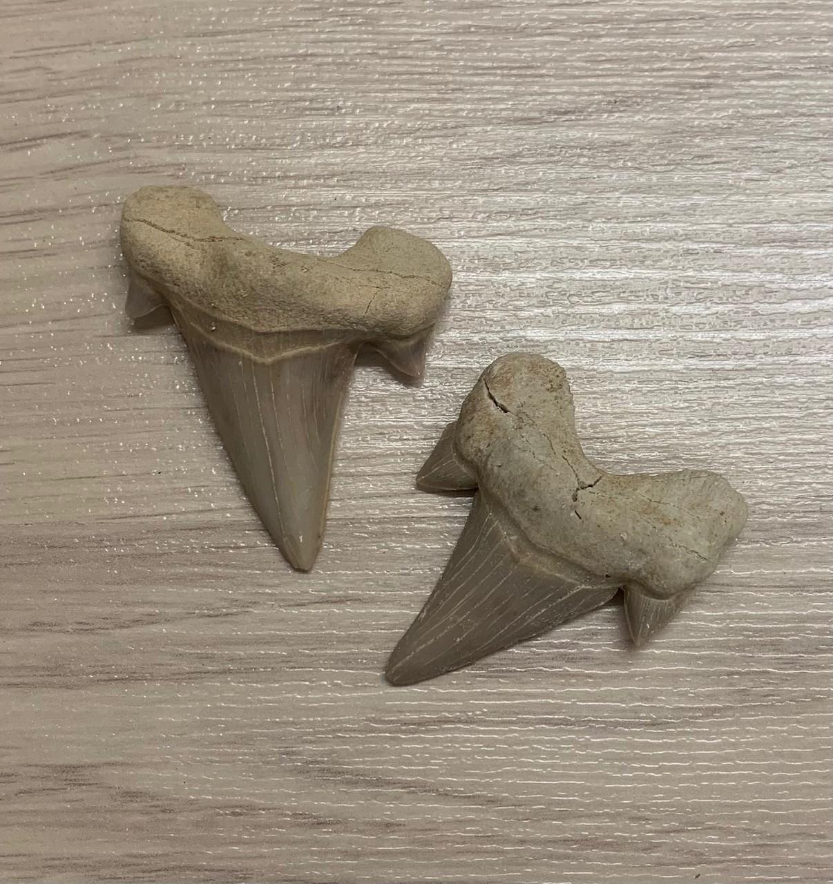 * Dent Fossile de Requin Lamna Obliqua.Taille de 5,5cm sur 5,5cm.