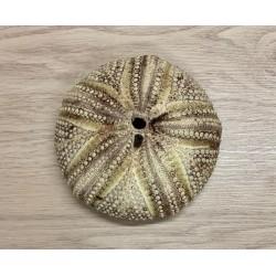 Sea urchin Test 13/15cm lot of 3