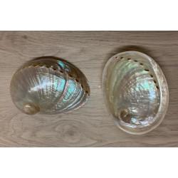 Abalone nacrée 10/12cm par 2