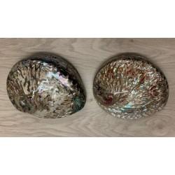 Abalone Haliotis polie 12/15cm par 2