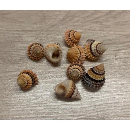 Tectarius 1.5/2cm par 50