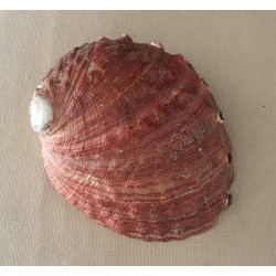 Abalone Rufescens 12.5/15cm by 3