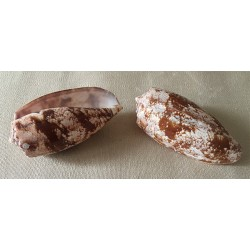 Conus Geographus 9/11cm lot of 12