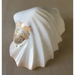 Strombus Latissimus White Festonné 12/13cm by 6