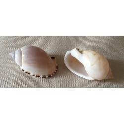 Cassis Erinaceus 3cm by 100
