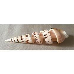 Terebra Maculata Spiral 12/15cm lot of 10