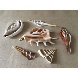 Shell hearts Assorted 50, 8/12cm batch of 1 set