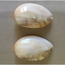 Chinese Clam in Pair 7/9cm by 12