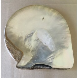 Polished pearl oyster 24/26cm by 1