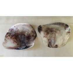 Saddle Shell (PLACUNA) 10/16cm by 12