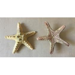 Sea Star Longspine 7/10cm lot of 25