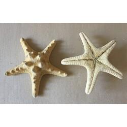 Natural Rhino Sea Star 6/10cm lot of 25