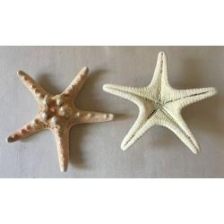 Natural Rhino Sea Star 14/18cm lot of 25