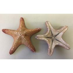 Natural Jungle Star 8/10cm lot of 25