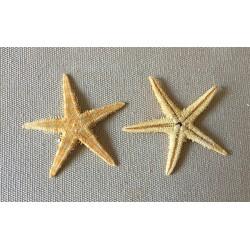 Flat Sea Star 2/3cm lot of 1000
